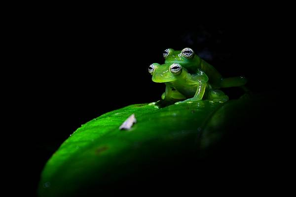Costa Rica Glasfrosch